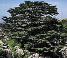 المناخ يهدد رمز لبنان