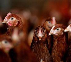 """دجاج معدل وراثياً يضع بيضاً """"يعالج"""" السرطان"""