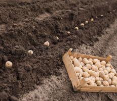 المؤسسة العامة لإكثار البذار  المشروع الوطني لإنتاج بذار البطاطا يحقق الاكتفاء الذاتي