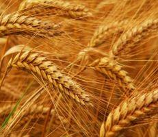 تنفيذ ثاني مناقصة لاستيراد القمح الطري والتسليم خلال شهرين
