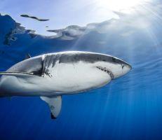 أسماك القرش البيضاء الكبيرة قد تحمل أسرار علاج السرطان والأمراض المرتبطة بالعمر