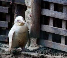 البطريق الأمهق النادر يظهر إلى العلن