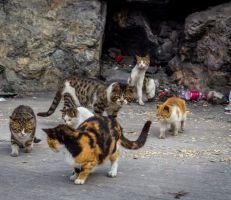 أستراليا  تخطط لقتل مليوني قطة بحلول عام 2020