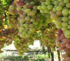 ٥٨ مليون ليرة لدعم مزارعي العنب بالسويداء
