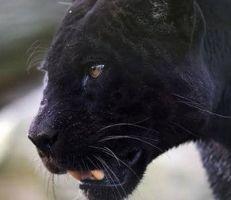 اصطياد نمر أسود في فرنسا يتجول على أسطح المنازل