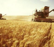 """""""مجلس الوزراء"""" تحديد سعر شراء كيلو القمح بـ225 ليرة"""