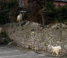 قطيع من الماعز  يغزو منتجعا ساحلياً مهجوراً في ويلز بسبب كورونا