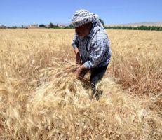 مساحات القمح تتوسع للعام الثاني على التوالي