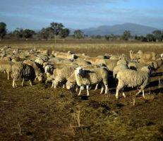 في أستراليا: الجفاف يخفض أعداد الأغنام لمستويات قياسية