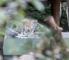 مقتل أخصائية رعاية حيوانات على يد أنثى نمر سيبيرية في حديقة حيوان زيوريخ