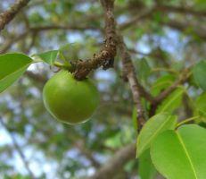 """""""تفاحة الموت الصغيرة""""... تعرف على أخطر شجرة في العالم.."""