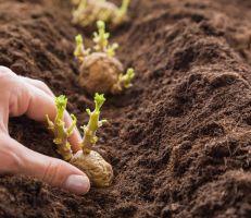 2.6 مليار ليرة للتوسع في إنتاج بذار البطاطا محلياً وتخفيض الكميات المستوردة