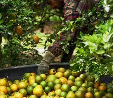 وزير الزراعة: تراجعفي إنتاج الحمضيات هذا العام نتيجة الظروف الجوية