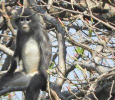 علماء يكتشفون نوعاً جديداً من القردة المهددة بالانقراض (صور)