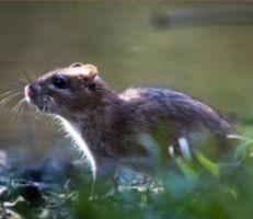 السويداء: انتشار فأر الحقل يثير مخاوف مزارعي القمح والشعير