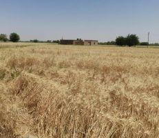 حصاد 4200 هكتار من محصول القمح بدير الزور