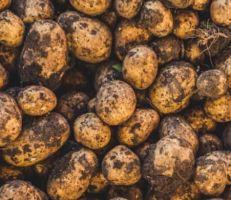 درعا: بدء جني محصول البطاطا وتقديرات بإنتاج 60 ألف طن