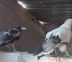 """تحضيراً لإطلاقه من الأسر يوم غد.. ما هو طائر """"الرخمة"""" المهدد بالانقراض؟"""