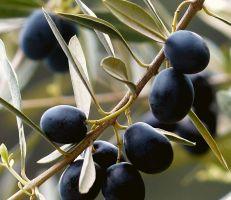 دودة ثمار الزيتون تهدد الموسم في السويداء
